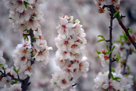 an almond blossom in spring