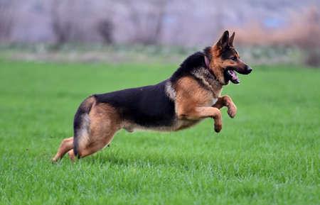 a strong german shepherd in a green field