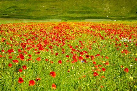 The beginning of flowering around Castelluccio di Norcia (June 2020): fields in lavish color, with red poppies, yellow rapeseed and other flowers. Stockfoto