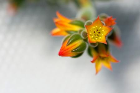 macro detail of little orange desert cactus flowers (Echeveria pulvinata) Stock Photo