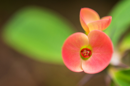 macro detail of a tropical cactus with little colorful flowers in a greenhouse (Euphorbia milii varied bosseri)