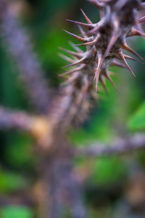 macro detail of a tropical cactus with thorns in a greenhouse (Euphorbia milii varied bosseri)