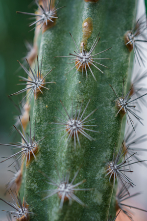 Macro detail of a mexican desert cactus with white thorns