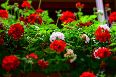 Red and white flowers on a balcony