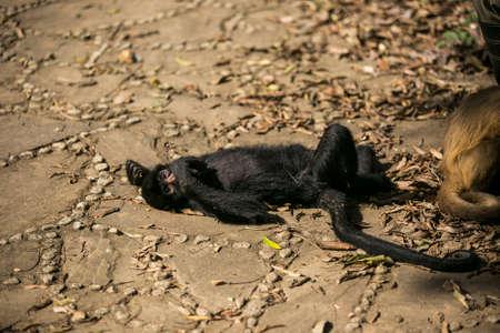 Black faced spider monkey in Yungas, Coroico, Bolivia Stock Photo
