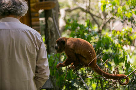 Bolivian red howling monkey in Yungas, Coroico, Bolivia