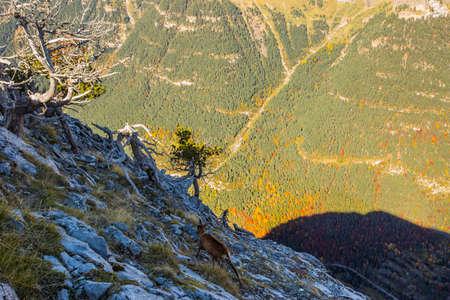 Chamois in autumn in Ordesa and Monte Perdido National Park, Spain Foto de archivo