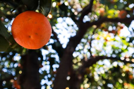 Orange hanging from a tree view from below Archivio Fotografico