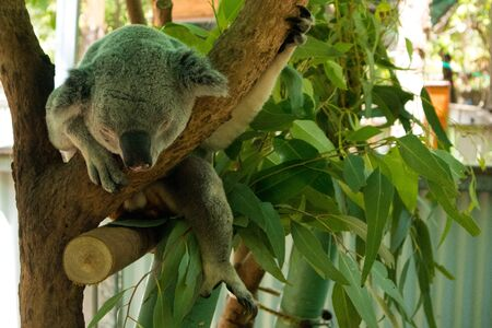 Cute Koala hanging and sleeping on tree branches Banco de Imagens