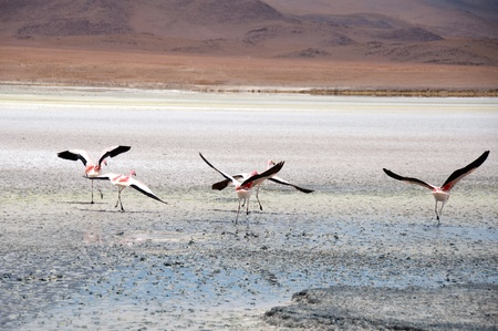 salt flat: Flamingos in the Salt flat of Atacama (Chile) Stock Photo