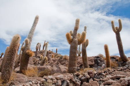 Desert vegetation on Incahuasi island in Salar de Uyuni, Bolivia photo
