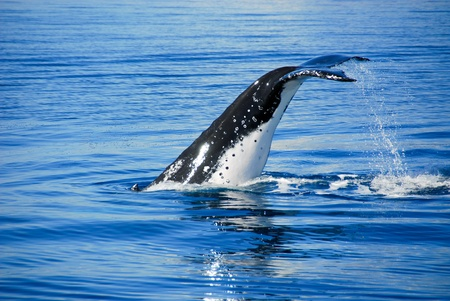 Humpback Whale in Hervey bay, Queensland, Australia photo