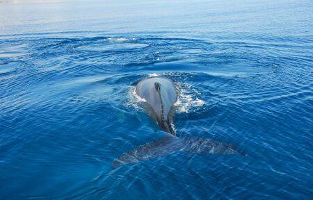 Humpback Whale in Hervey bay, Queensland, Australia photo
