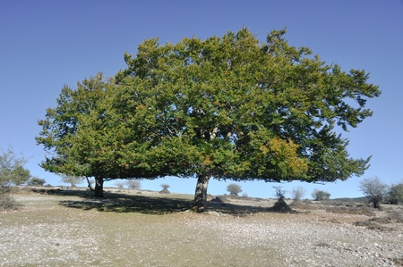 navarre: Holm oak, Urbasa range, Navarre (Spain) Stock Photo