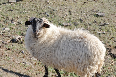 Sheep at Urbasa range, Navarre (Spain) photo