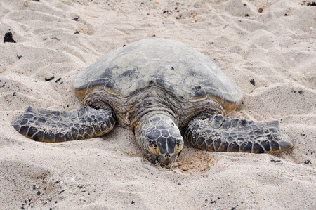 Hawaiian Green Sea Turtle at Kekaha Kai state park photo