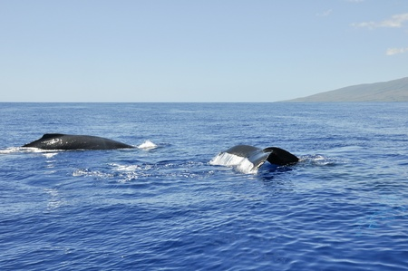 Humpback Whale in Lahaina, Mahui, Hawaii photo