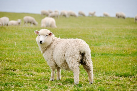 Sheeps in New Zealand photo