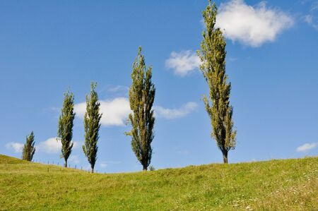 poplars: Poplars in a grassland, New Zealand Stock Photo