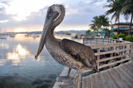 pelican: Brown pelican in Ponce, Puerto Rico