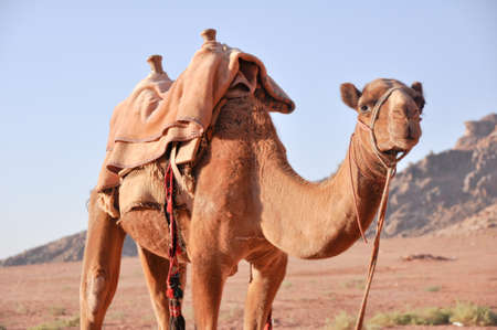 Tour in camel, Wadi Rum (Jordan) photo