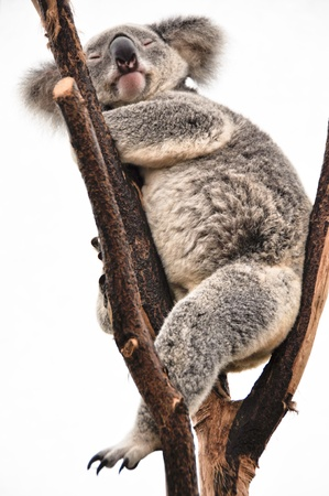 Koala having a rest photo