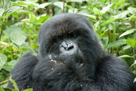 Mountain Gorilla in Volcano National Park (Rwanda) photo