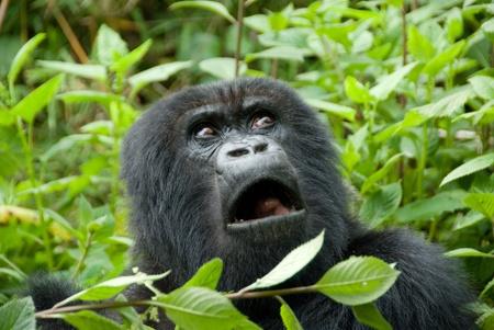 Mountain Gorilla in Volcano National Park (Rwanda) Stock Photo