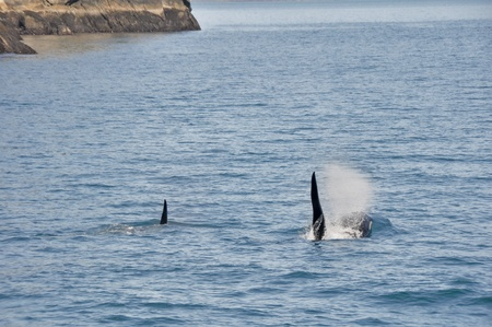 Orca Whales in Resurrection Bay, Alaska photo