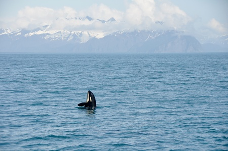 Orca Whale in Resurrection Bay, Alaska photo