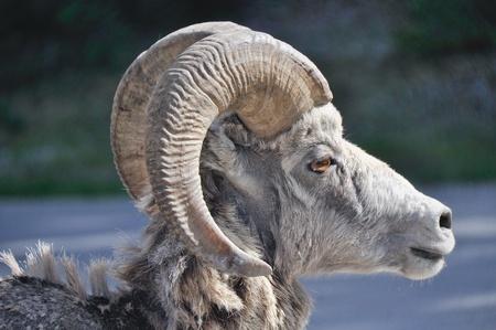 rocky mountain bighorn sheep: Wild bighorn sheep, Banff (Canada)