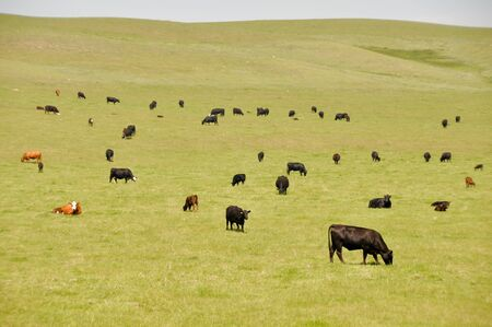 Cows on green meadow, Canada photo