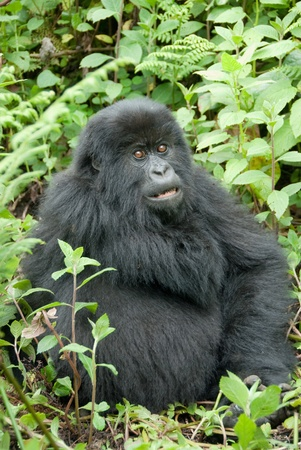 Mountain Gorilla in Volcano National Park (Rwanda) photo