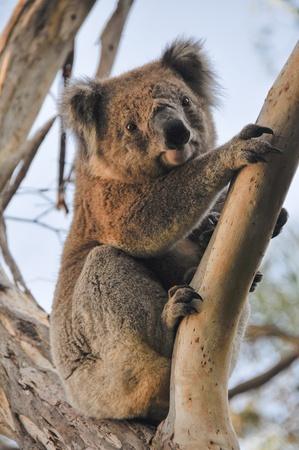 phascolarctos cinereus: Koala en Cape Otway reserva, Victoria, Australia