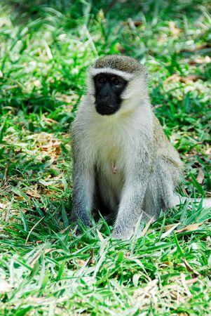 entebbe: Female Vervet monkey, Entebbe Botanical Garden, Uganda Stock Photo