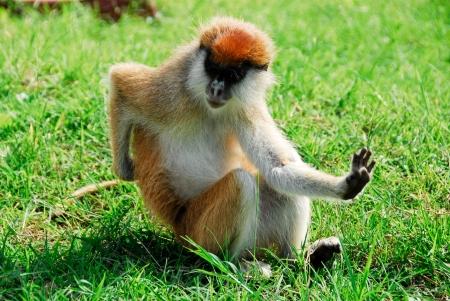 herbivore natural: Patas monkey, Kidepo Valley National Park (Uganda) Stock Photo