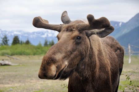 Wild moose, Alaska  Stock Photo