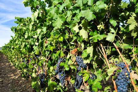 Grapes in a vineyard  photo