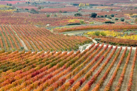 la rioja: Vineyards at Autumn, La Rioja  Spain