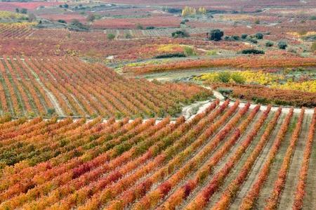 basque country: Vineyards at Autumn, La Rioja  Spain