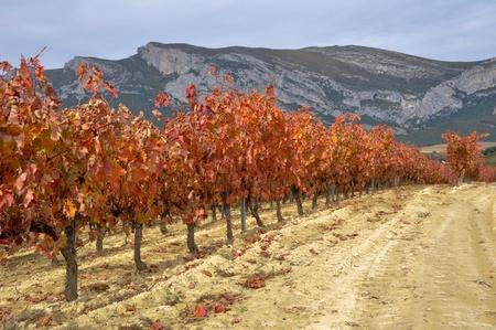 alava: Vineyards at Autumn, Alava  Spain