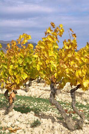 Vineyard at Autumn, Basque Country, Spain photo