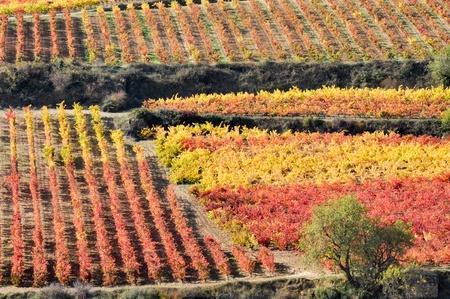 alava: Vi�edo en oto�o, La Rioja, Espa�a Foto de archivo