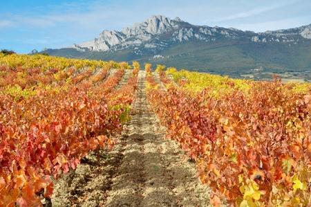 la: Vineyard at Herbst, La Rioja Spanien