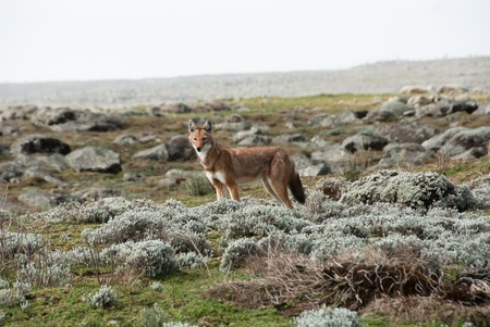 canid: Simien wolf Stock Photo