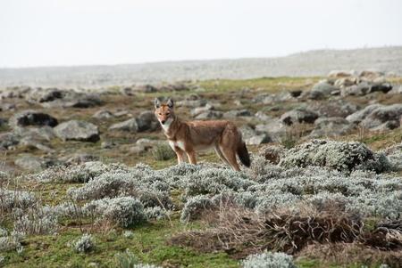 ethiopian: Simien wolf Stock Photo