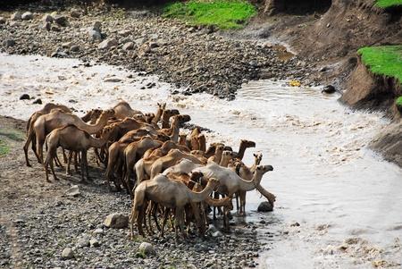 dromedaries: Camels near a river