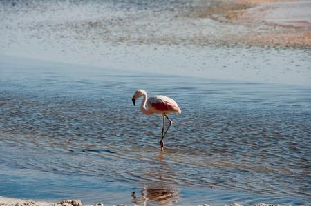 Flamingo, Atacama salt flat (Chile) photo