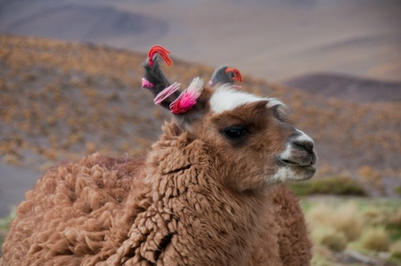 Llama, The Andes (Chile) Stock Photo - 12195079