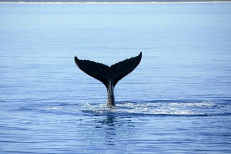 Humpback Whale in Australia photo
